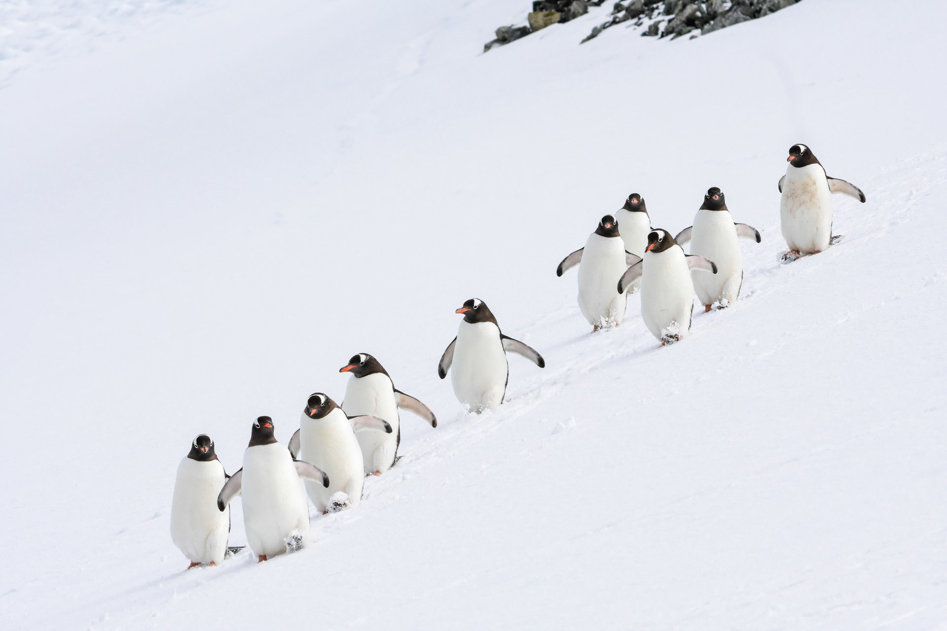 A group of Gentoo penguins in Antarctica. Photography by Philip Stone.
