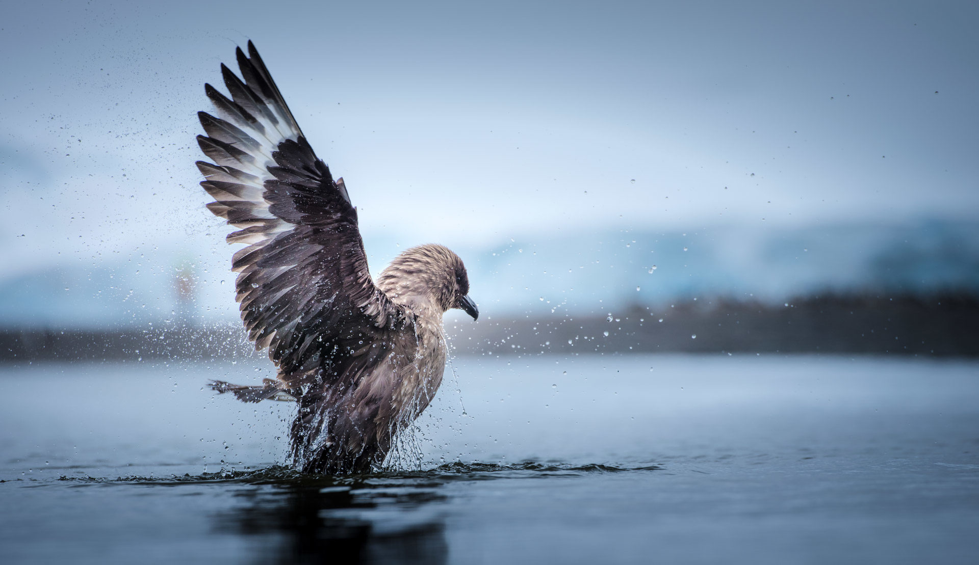 Profile picture of a Skua sea bird, photographed by Ruslan Eliseev, for Antarctica21.