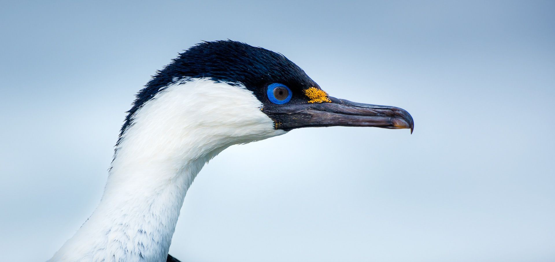 A blue-eyed cormorant or blue-eyed shag. Photography by Ruslan Eliseev, on an Antarctica Express Air-Cruise.